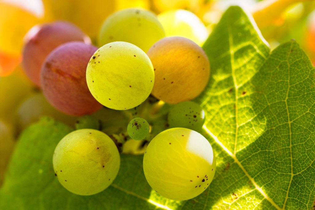Grains de raisins été