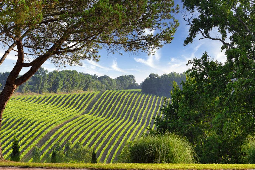 Vignes de Saint-Aubin