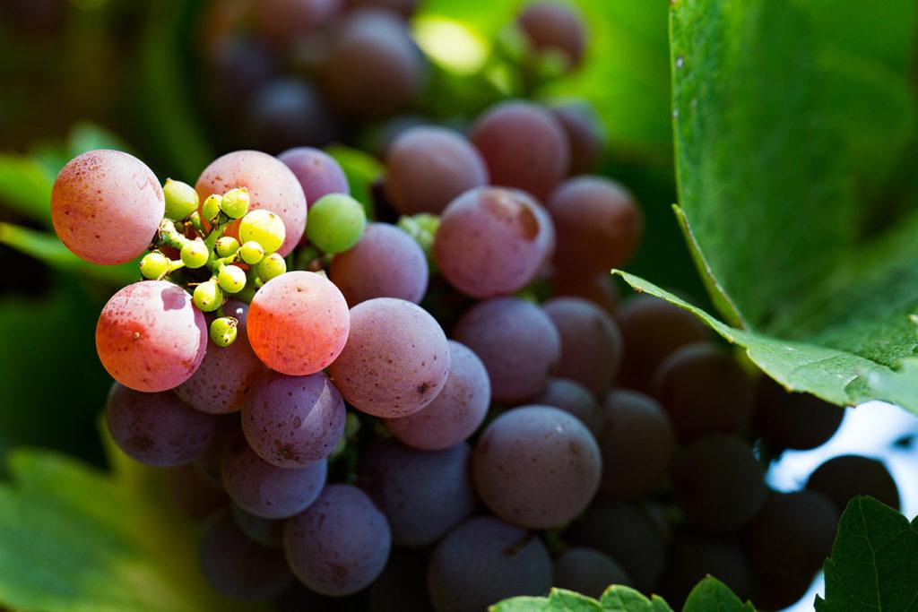 grains de raisins murs