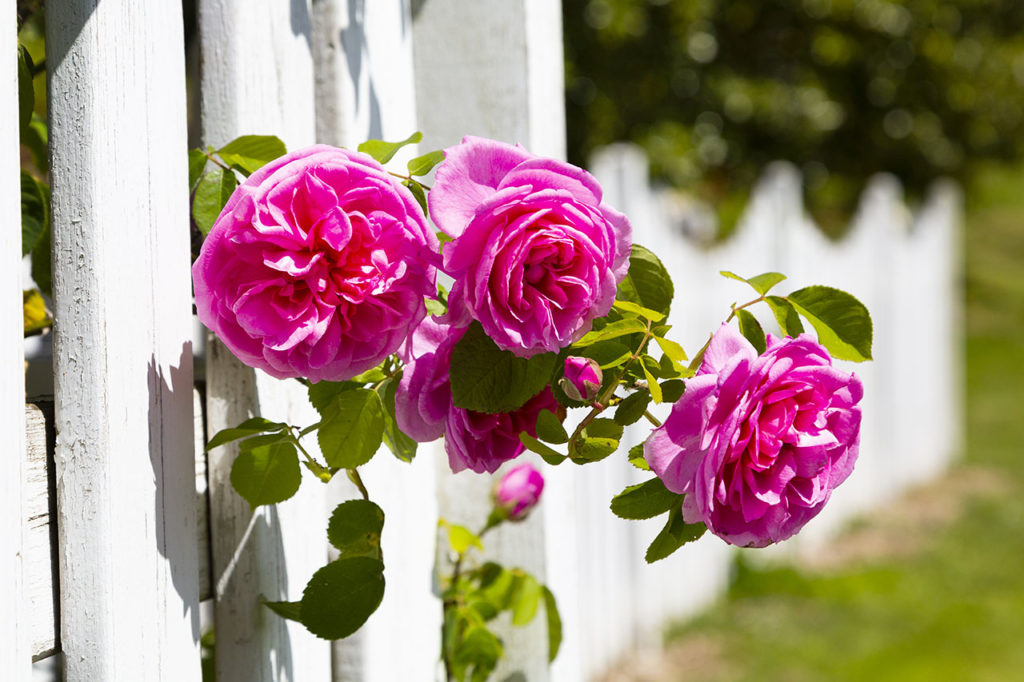 roses dans le parc du vignoble de Saint-Aubin