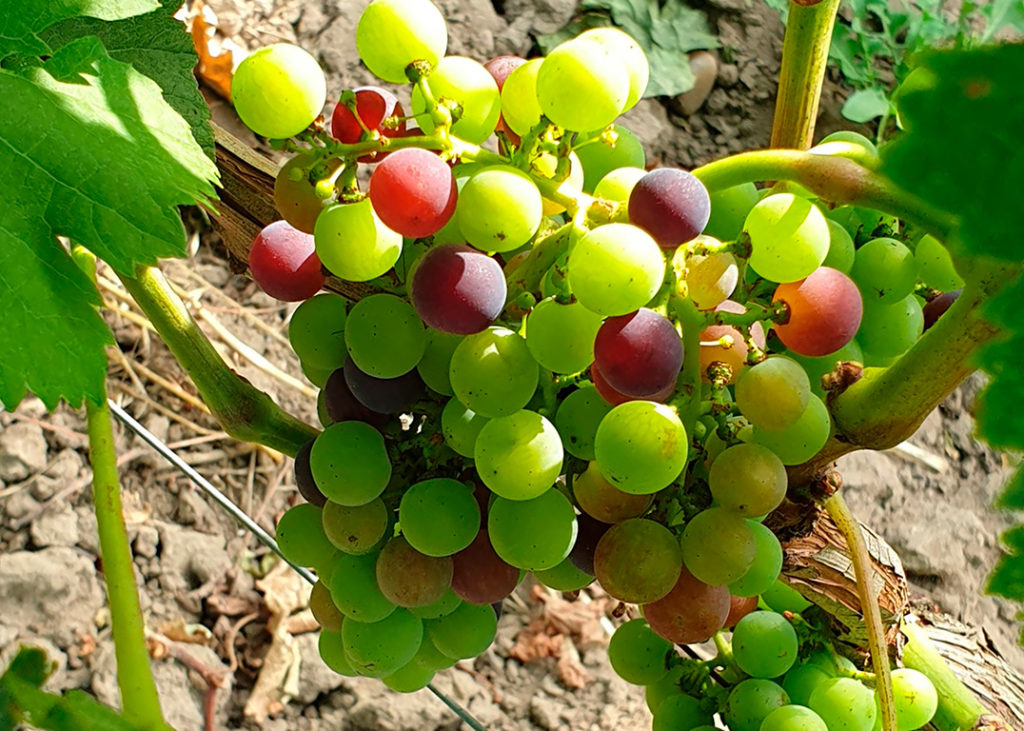 grappe de raisin mulitcolore