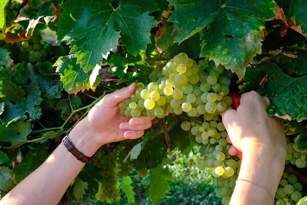 vendanges manuelles au vignoble de Saint-Aubin