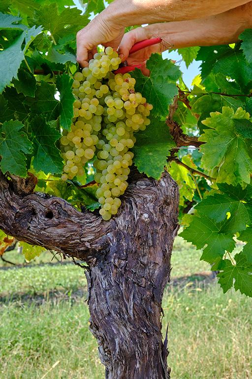 pied de vigne et grappe