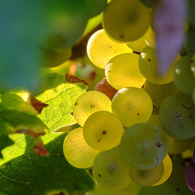 vigne et raisin mature