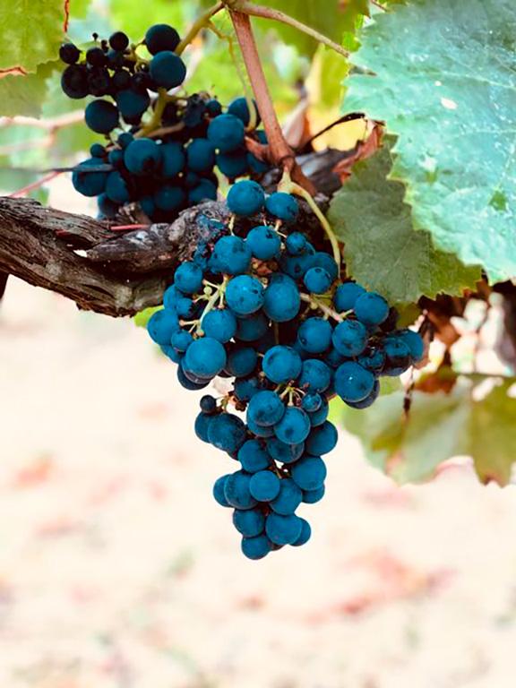 vigne et cépage rouge