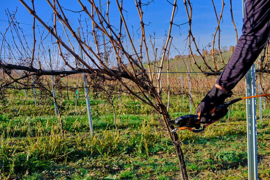 la vigne en hiver